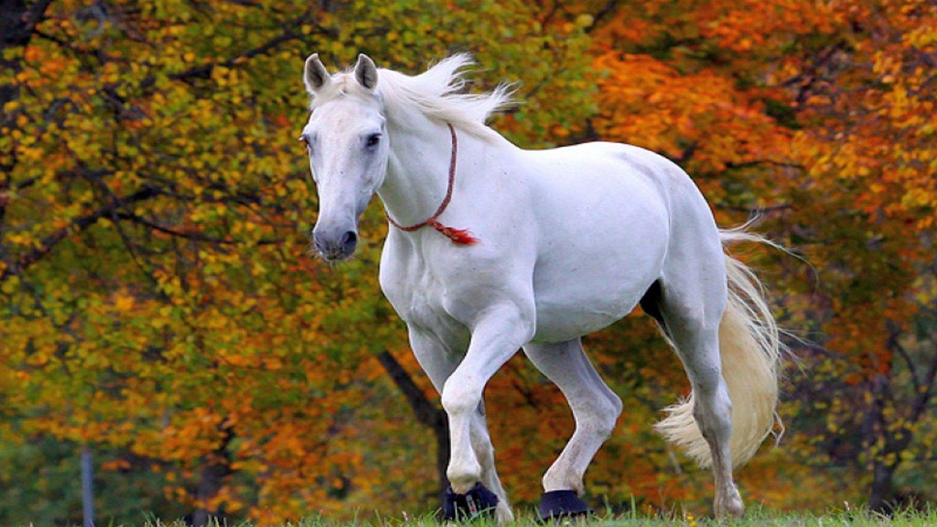 Cute white horse wallpapers