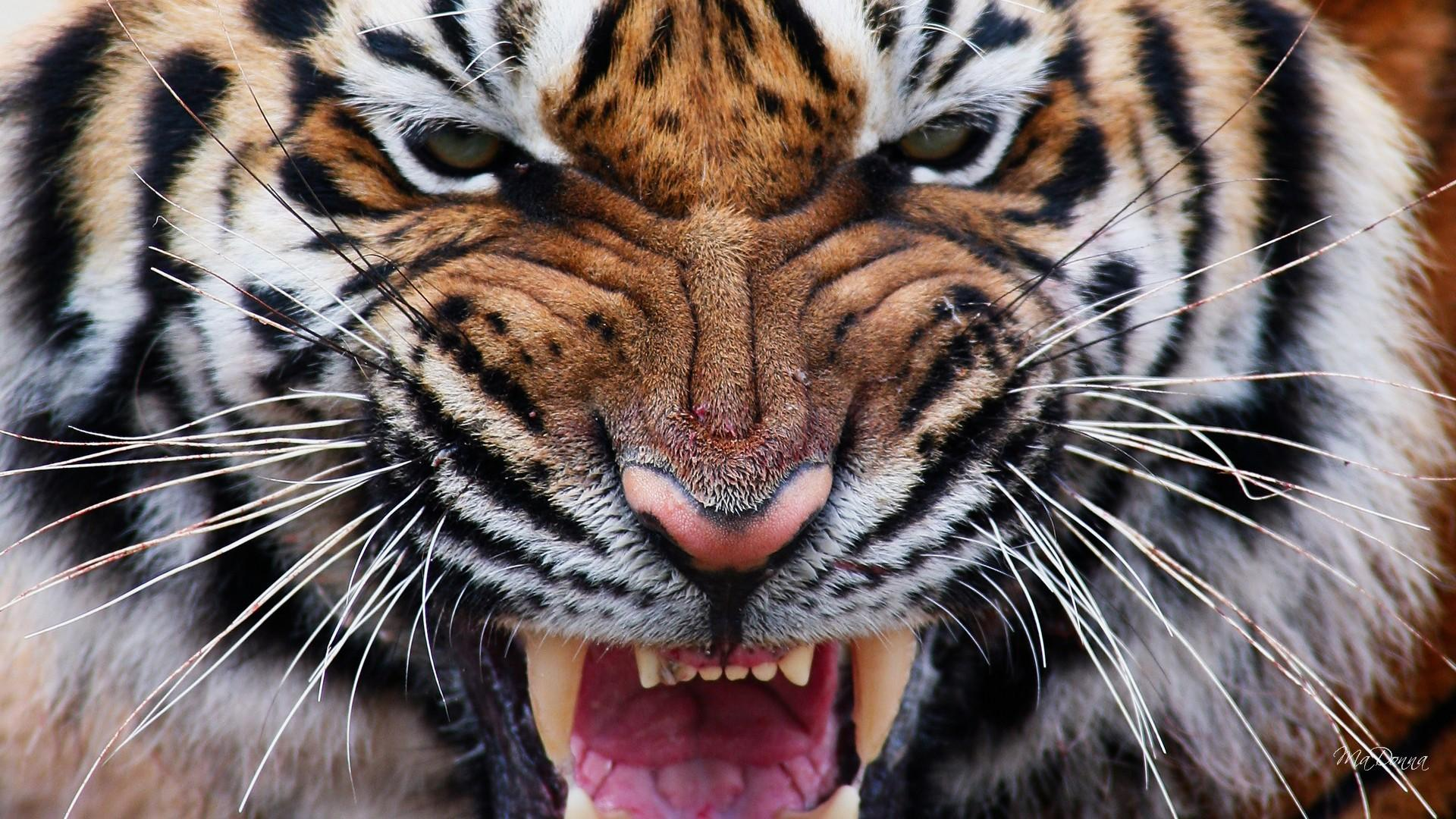 Angry Tiger Eyes Wallpapers Wallpaper Cave