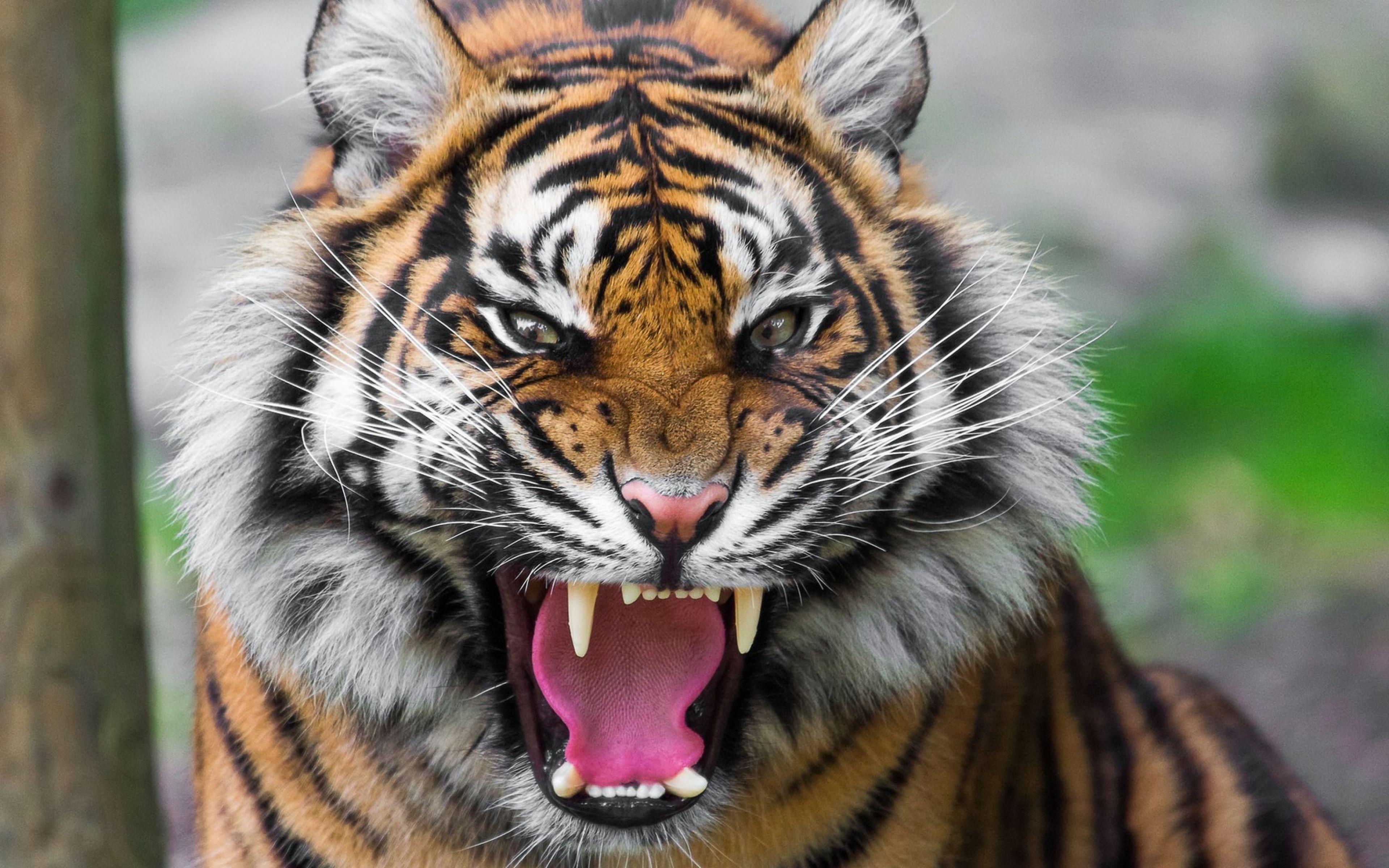 Tiger Resting 4k Hd Desktop Wallpaper For 4k Ultra Hd Tv: Angry Tiger Eyes Wallpapers