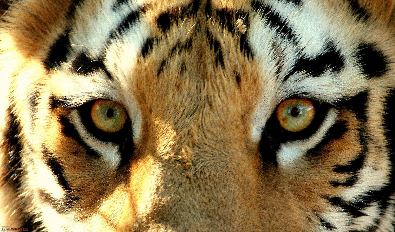Eye Tiger