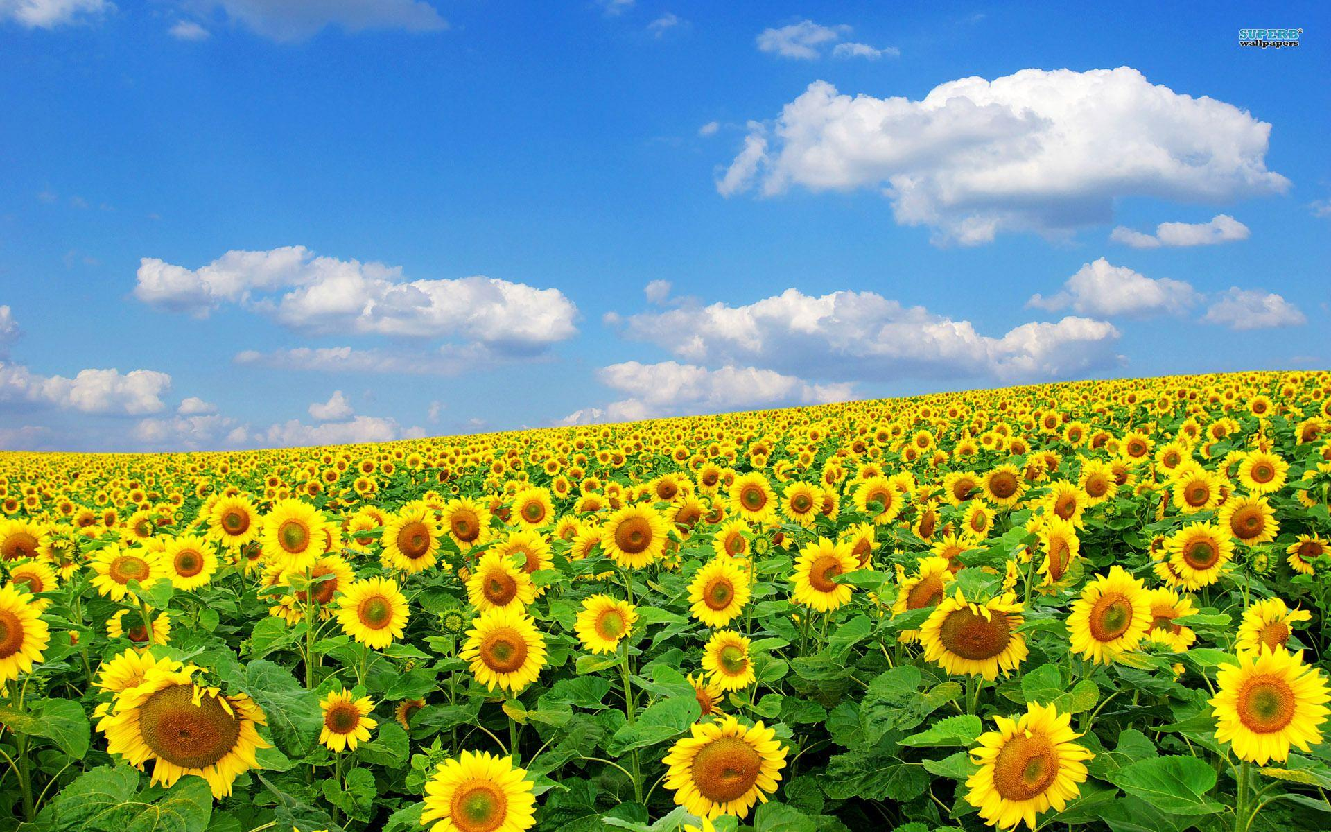 Field Of Sunflowers Wallpapers Wallpaper Cave