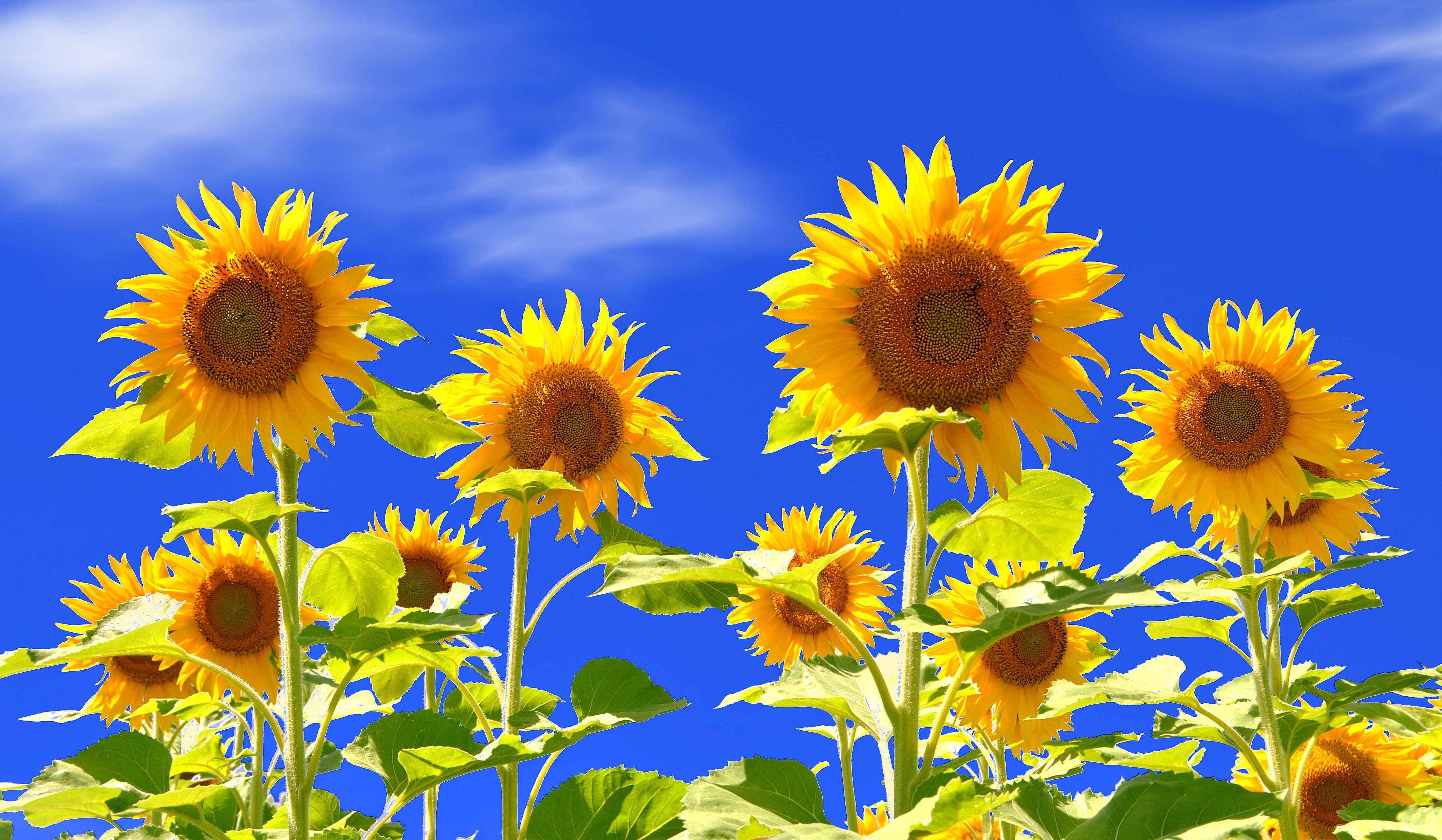 sunflowers Sky Field Wallpapers HD Desktop and Mobile