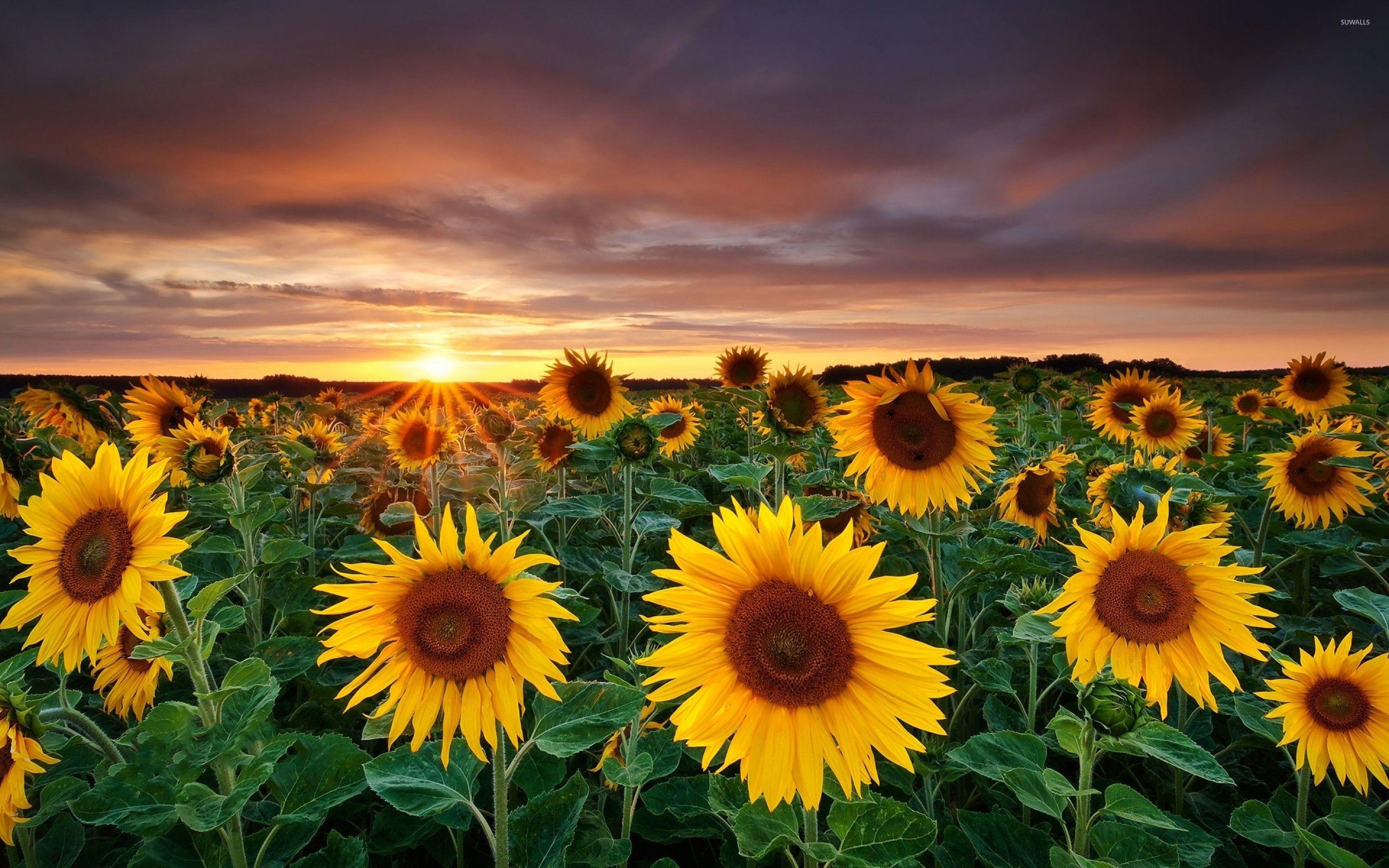 Field Of Sunflowers Wallpapers - Wallpaper Cave