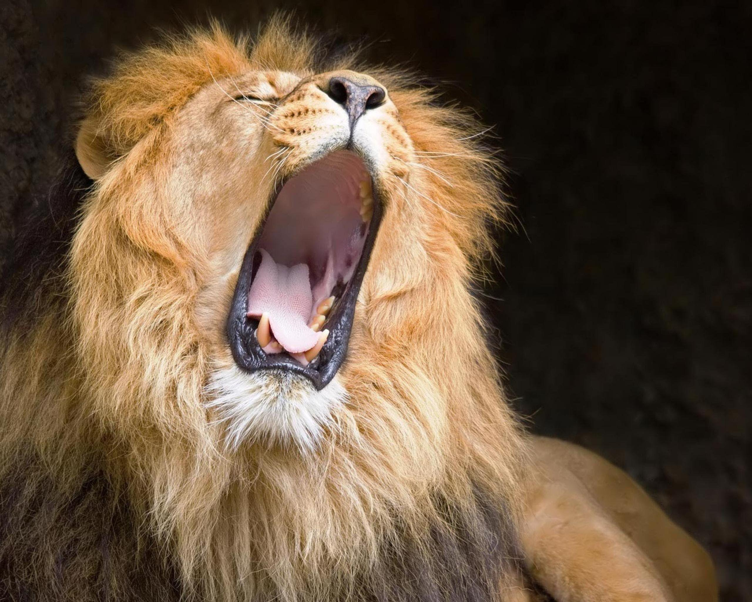 Lion Roar Wallpapers - Wallpaper Cave