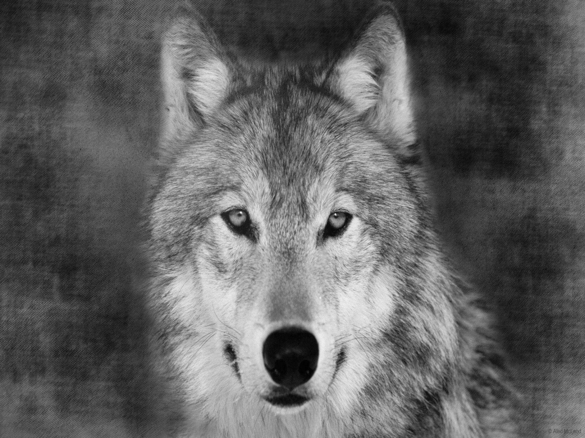 Wolf Face Wallpapers Wallpaper Cave
