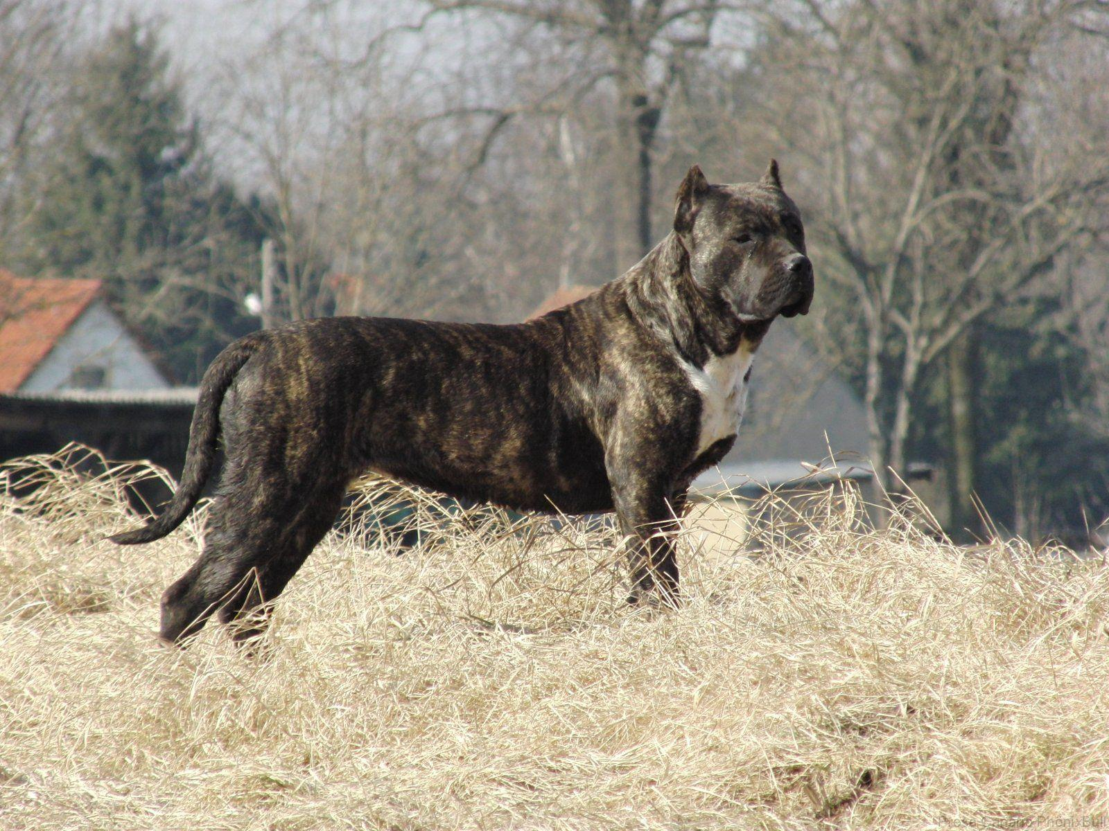 Presa Canario Dog Wallpapers, Pictures, Images