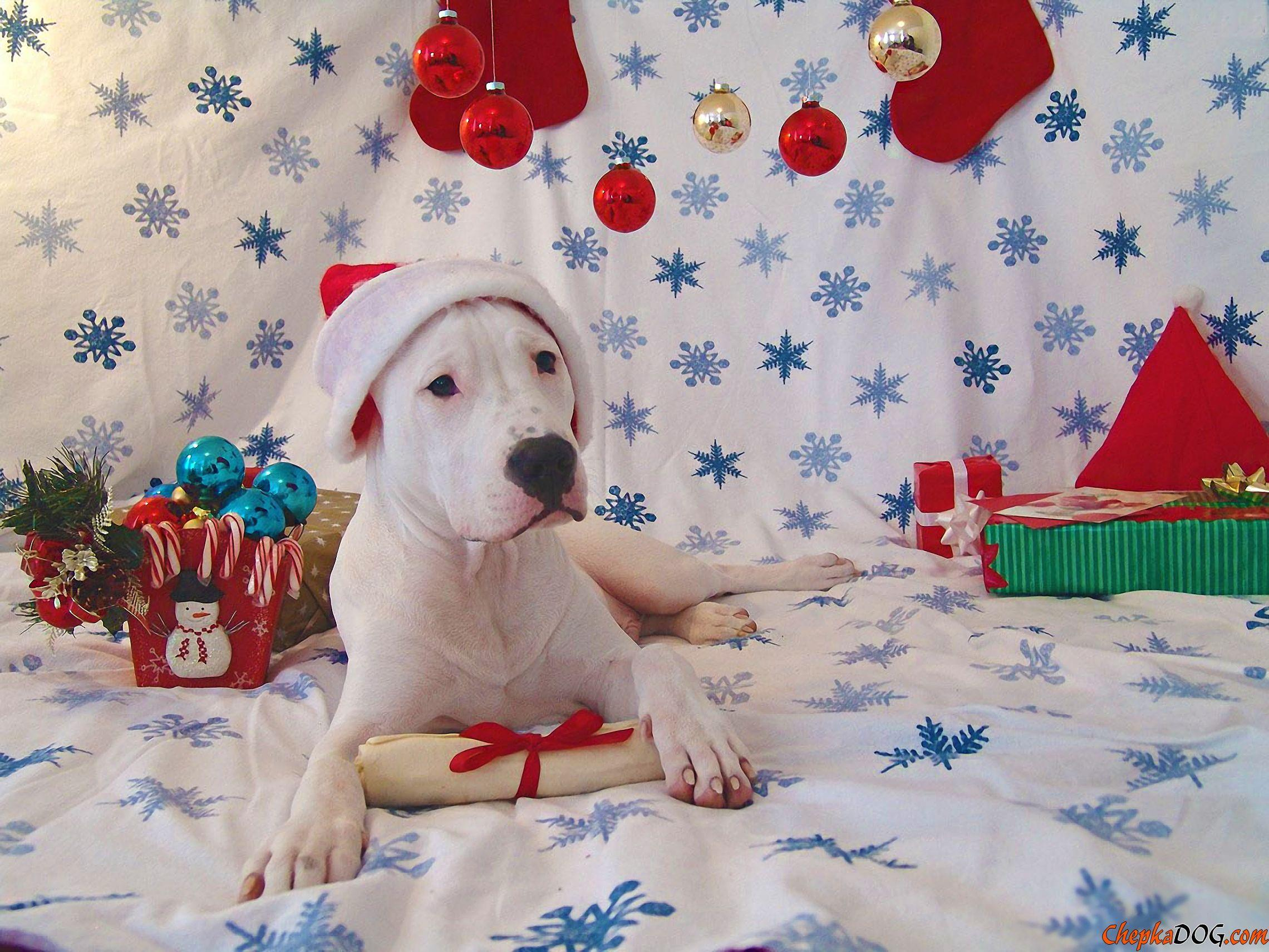 Dogo Argentino puppy for Christmas quality wallpaper | Dogo ...