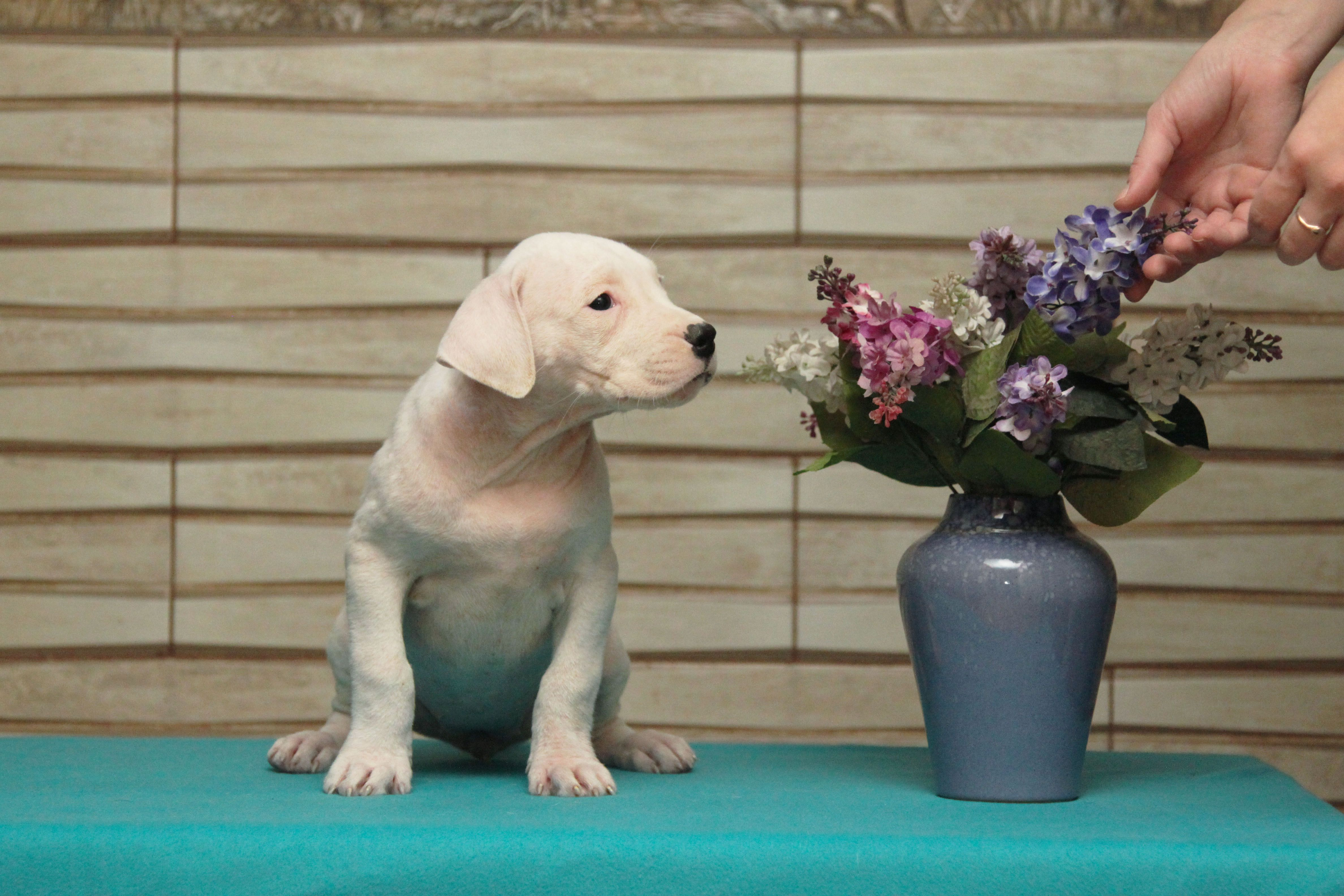 Dogo Argentino Puppy and flowers wallpapers and images ...