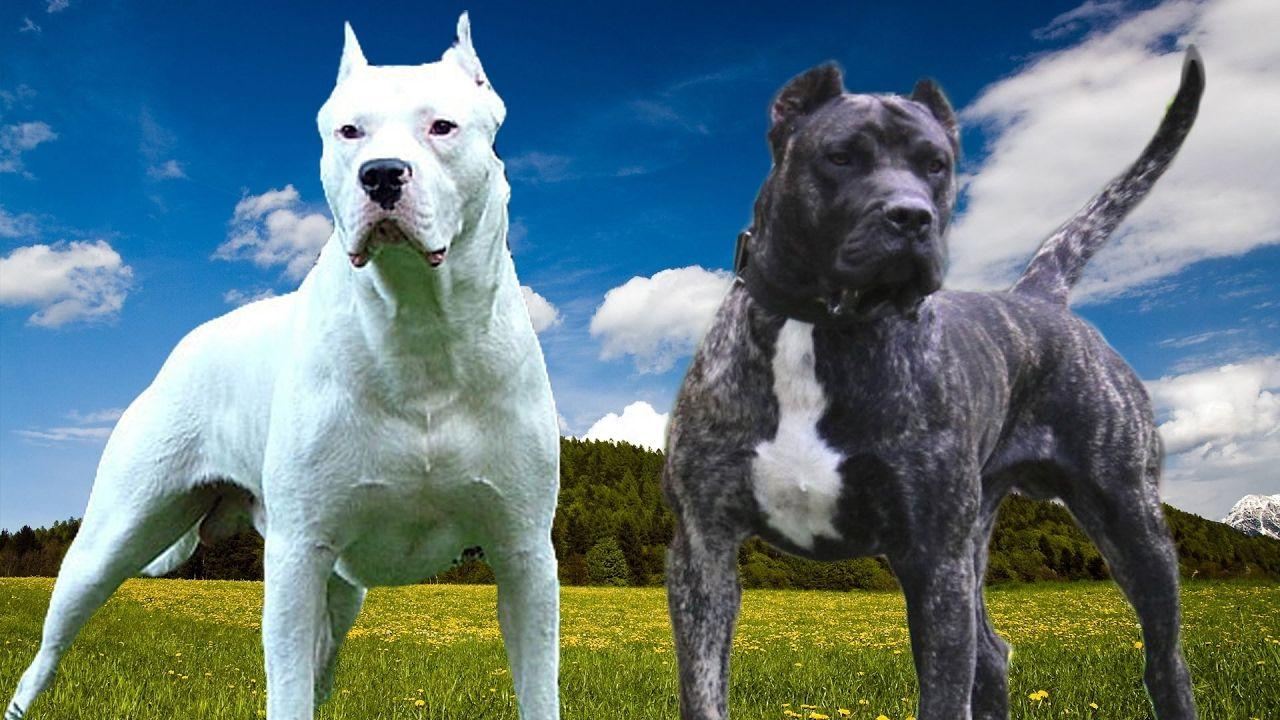 Dogo Argentino Breed Review Wallpapers 2017 | Animal Box