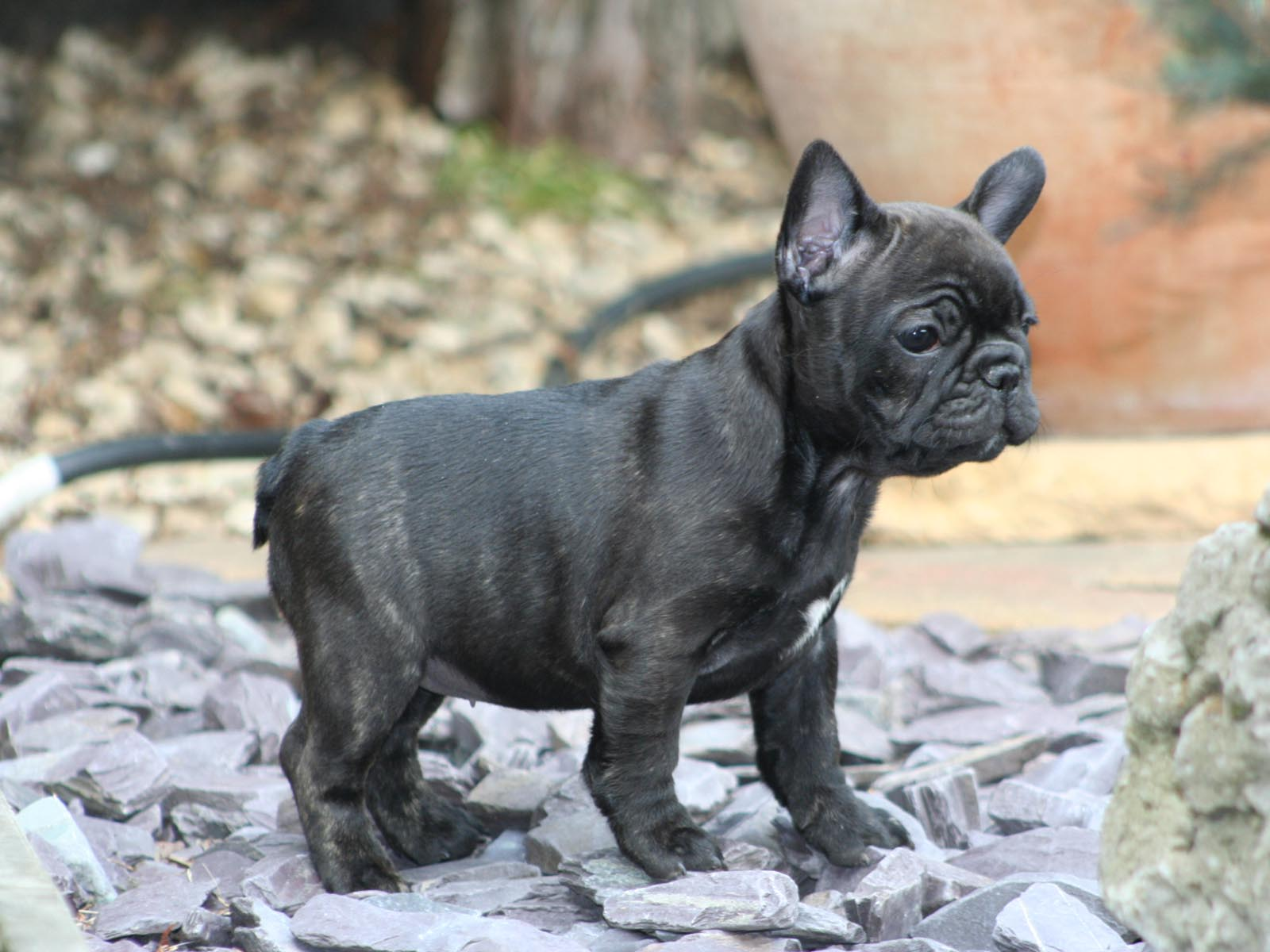 French Bulldogs Wallpapers Wallpaper Cave