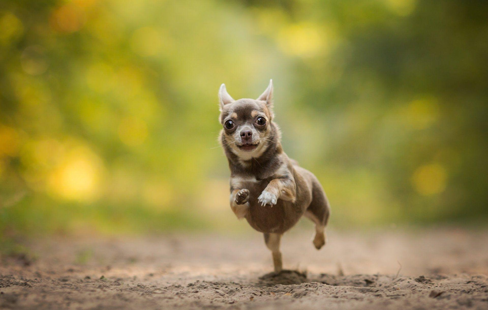 Chihuahua hd wallpapers wallpaper cave free chihuahua wallpaper for desktop hd wallpapers pinterest voltagebd Images