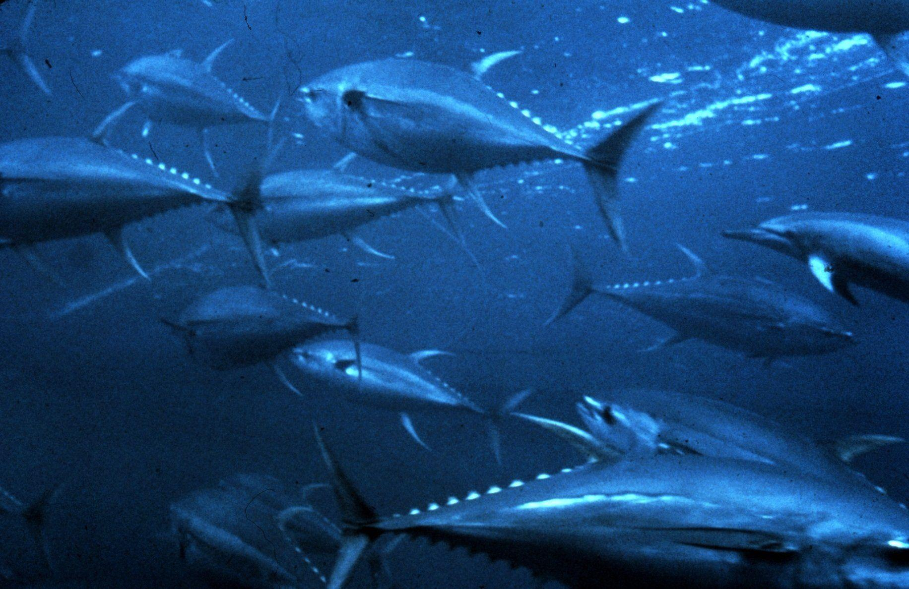 6 Tuna HD Wallpapers | Background Images - Wallpaper Abyss