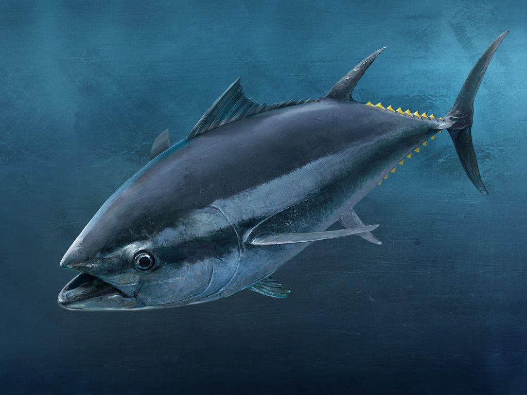 Tuna Fish Wallpaper - Top Backgrounds & Wallpapers