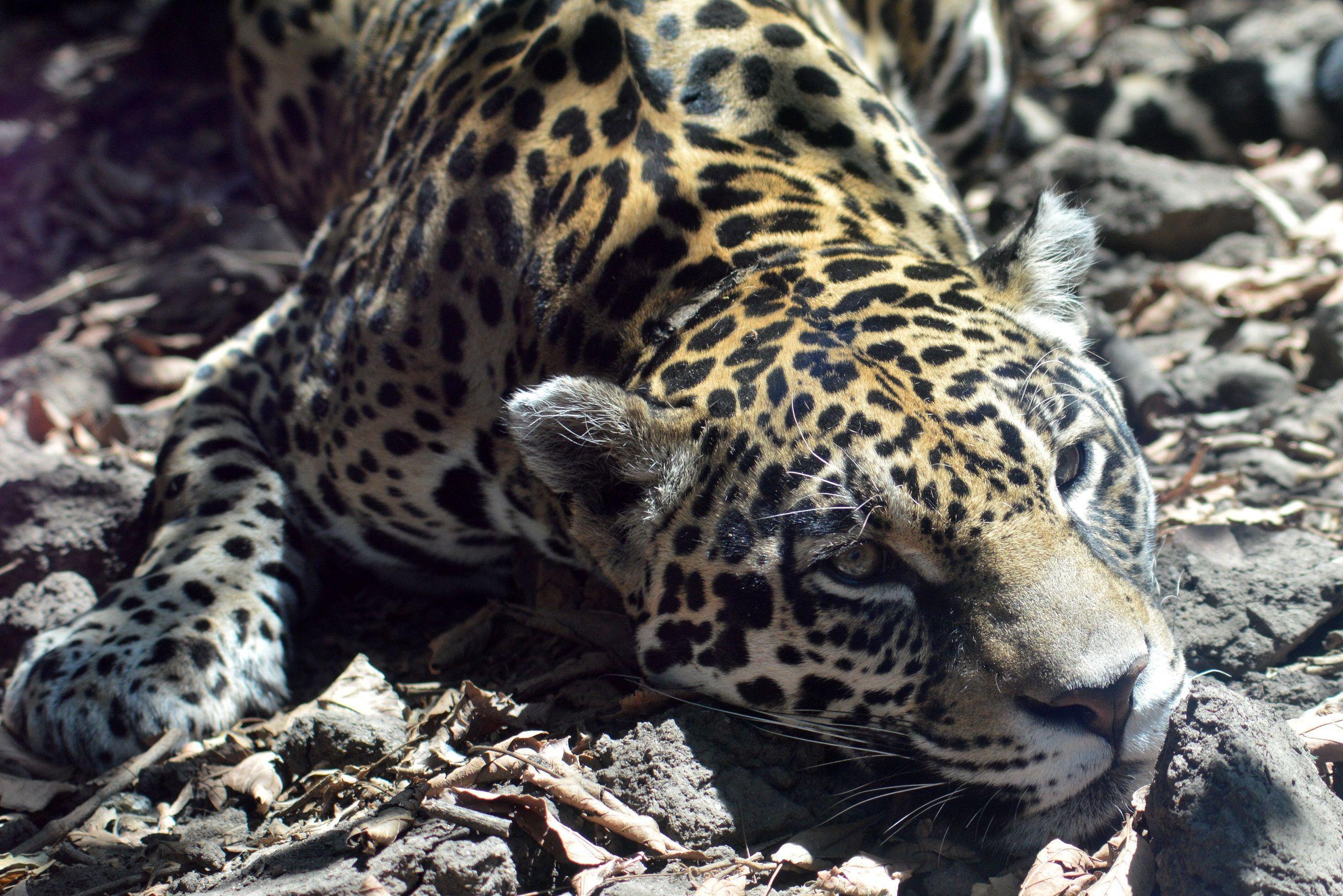 Fondos De Pantalla De Felinos: Fonditos Jaguar Bebe Animales Jaguares Mascotas Felinos