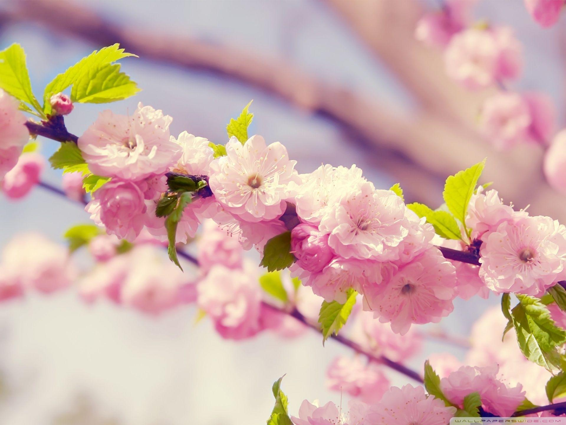 Cherry Tree Wallpapers Wallpaper Cave