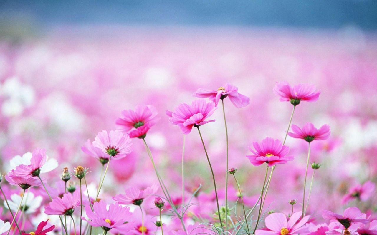 Spring Flowers Wallpapers High Quality Resolution > Yodobi