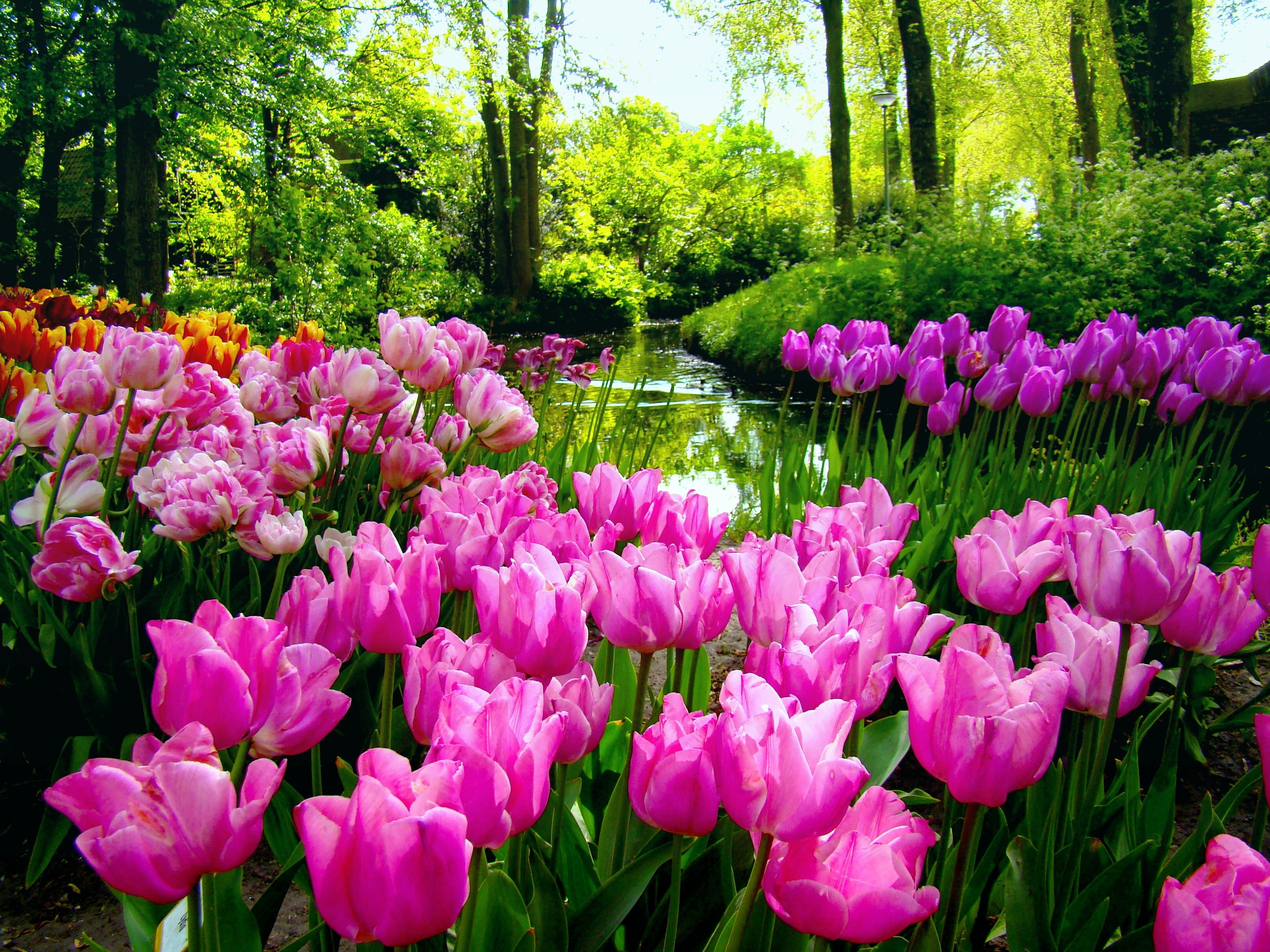 Flowers: Tulips Garden Creek Nature Trees Flowers Spring Wallpaper ...