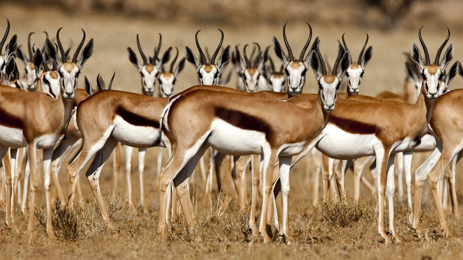 Gazelle Full HD Wallpaper and Background Image | 1920x1080 | ID:364765
