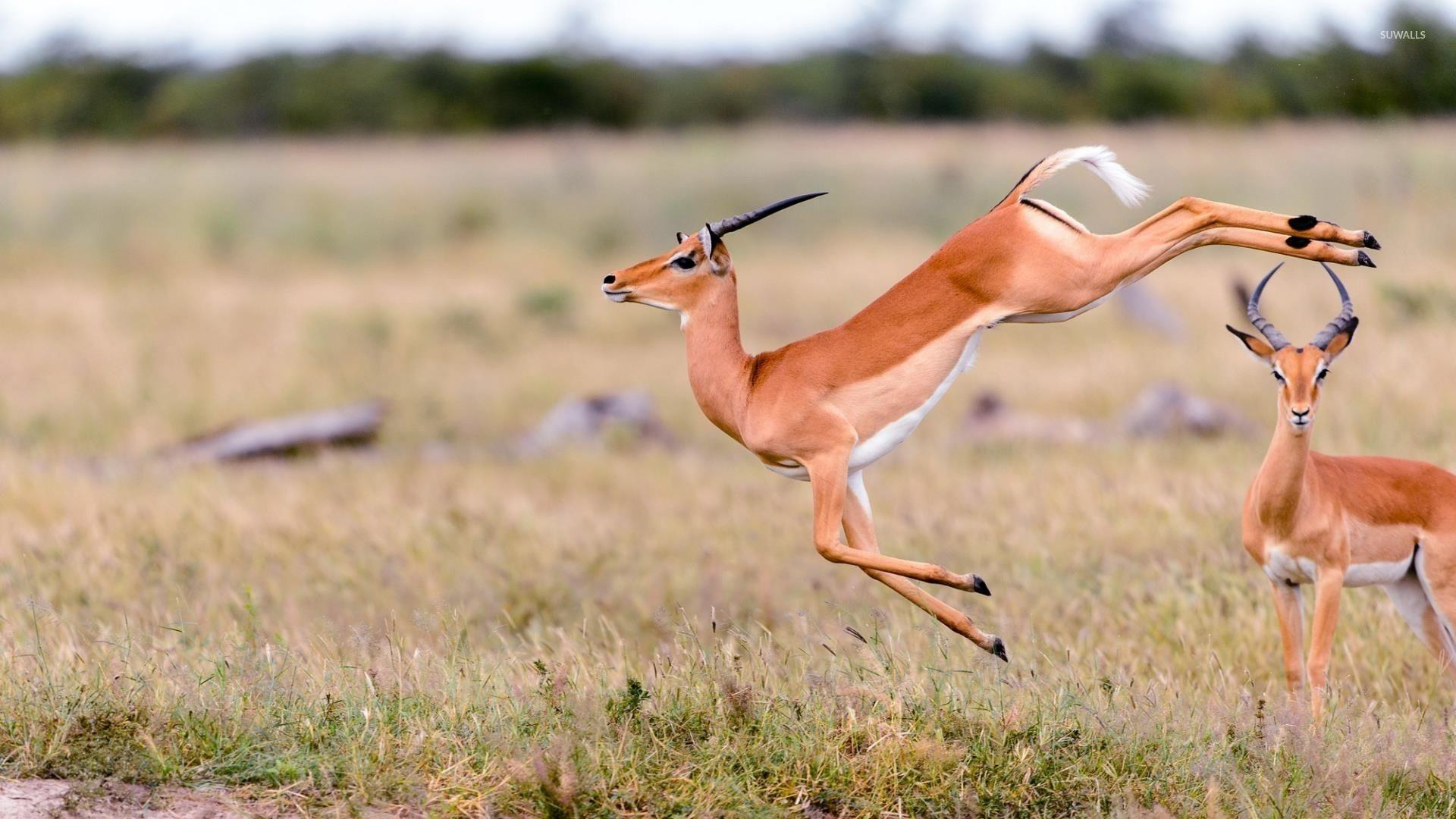 Gazelle wallpaper - Animal wallpapers - #34178