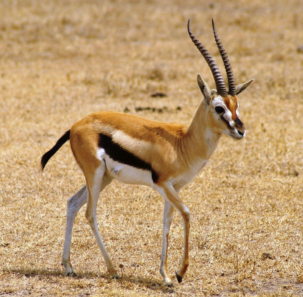 Cub Gazelle on a Walk #4245722, 1022x1000 | All For Desktop
