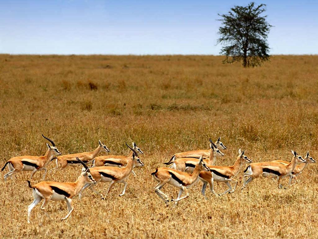 Free Gazelle Wallpaper download - Animals Town
