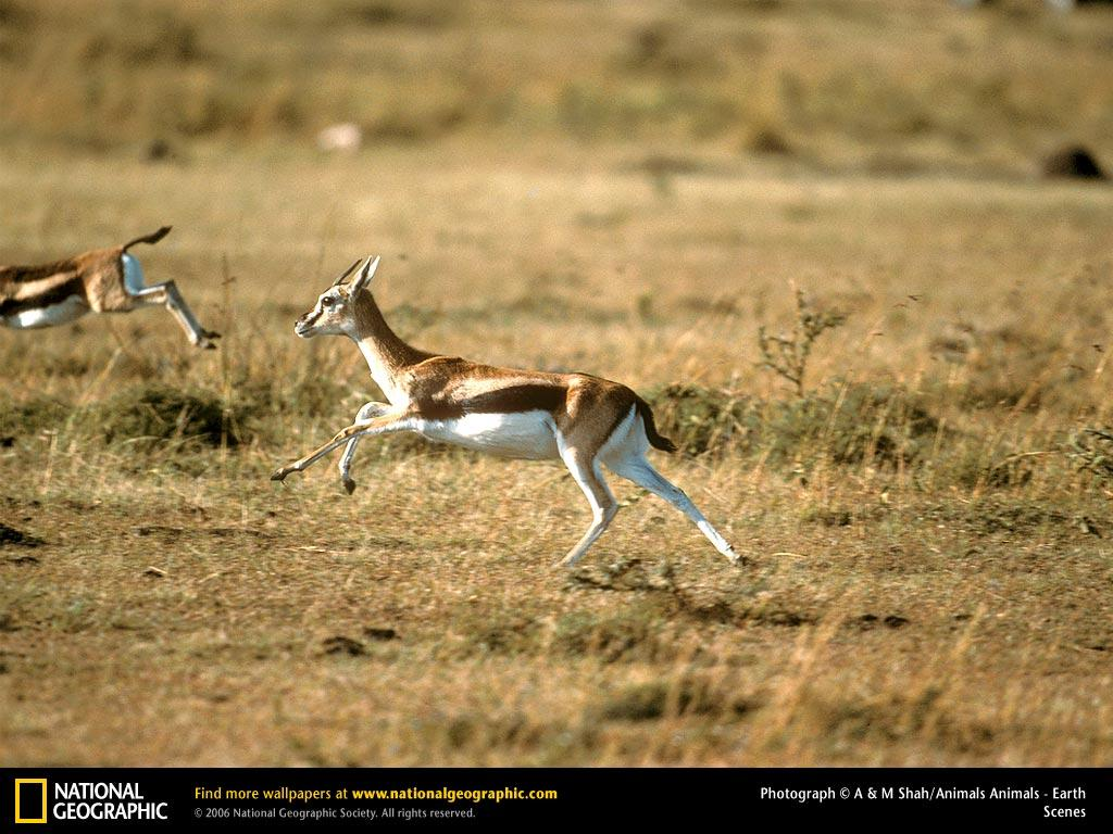 Gazelle Picture, Gazelle Desktop Wallpaper, Free Wallpapers ...