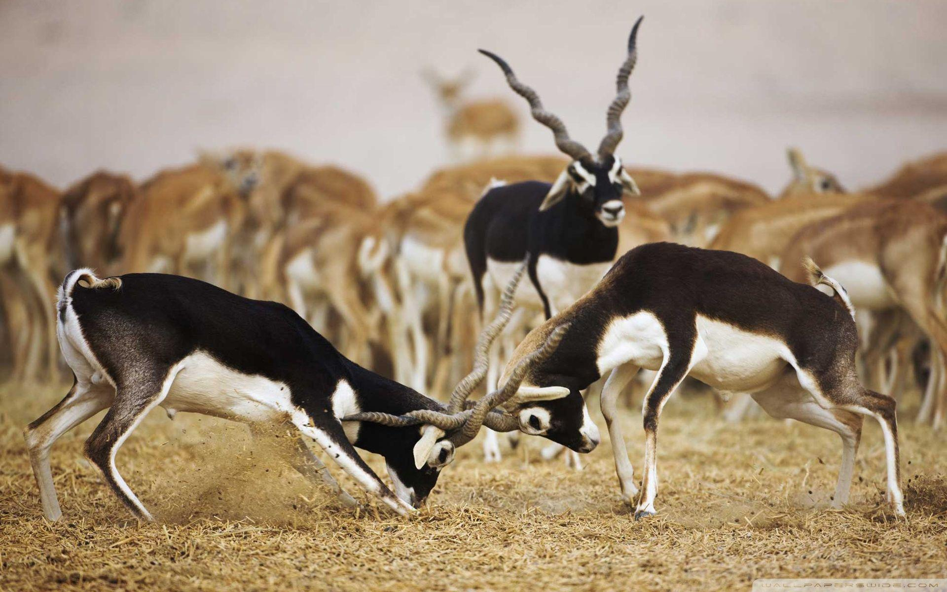 Blackbuck Antelopes ❤ 4K HD Desktop Wallpaper for 4K Ultra HD TV ...