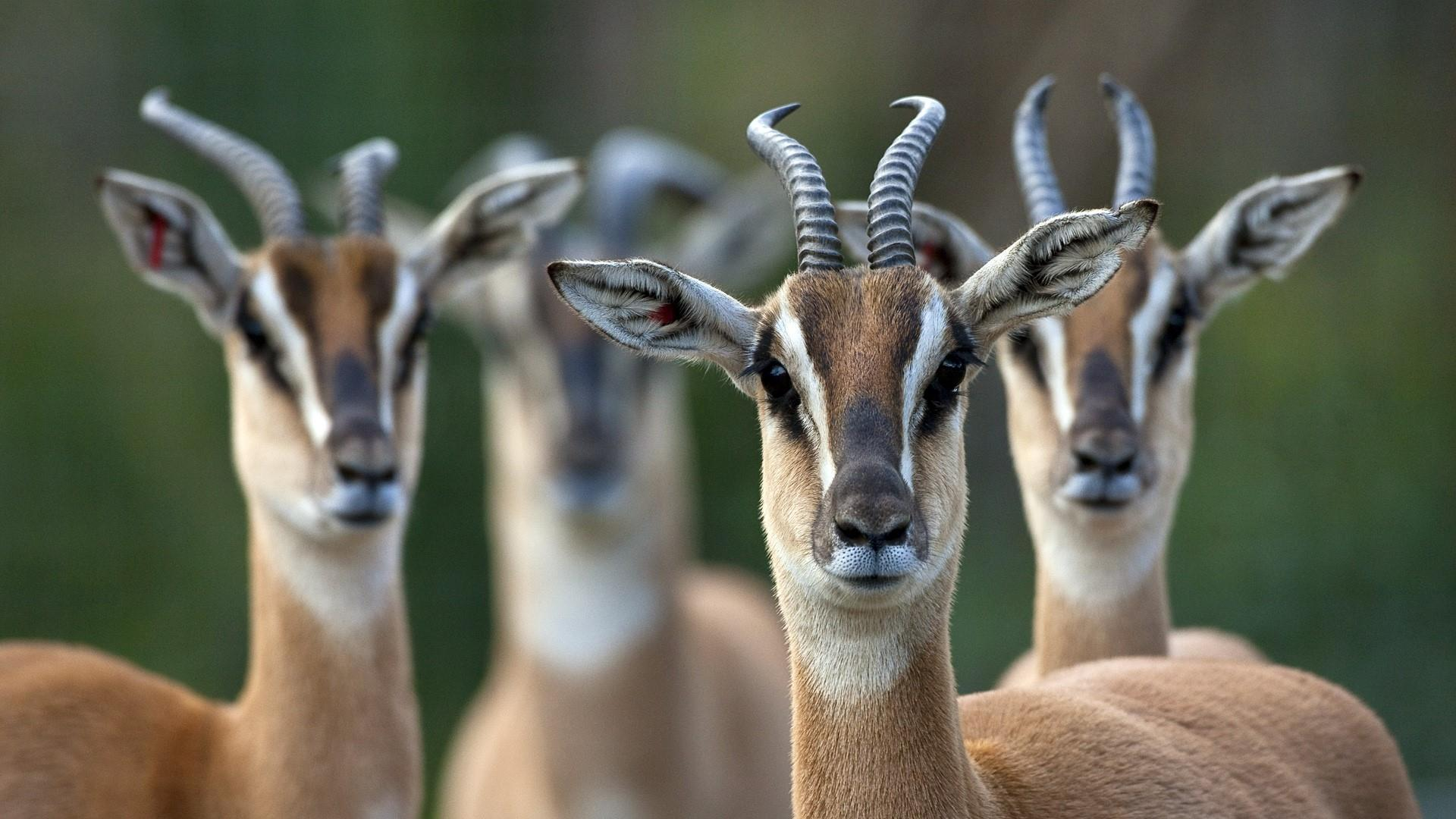 Springbok Antelopes Wallpaper | Wallpaper Studio 10 | Tens of ...