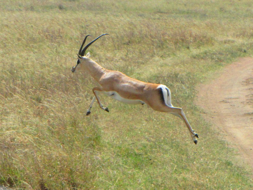 Animal Free Wallpapers: Animal Gazelle Free Wallpapers