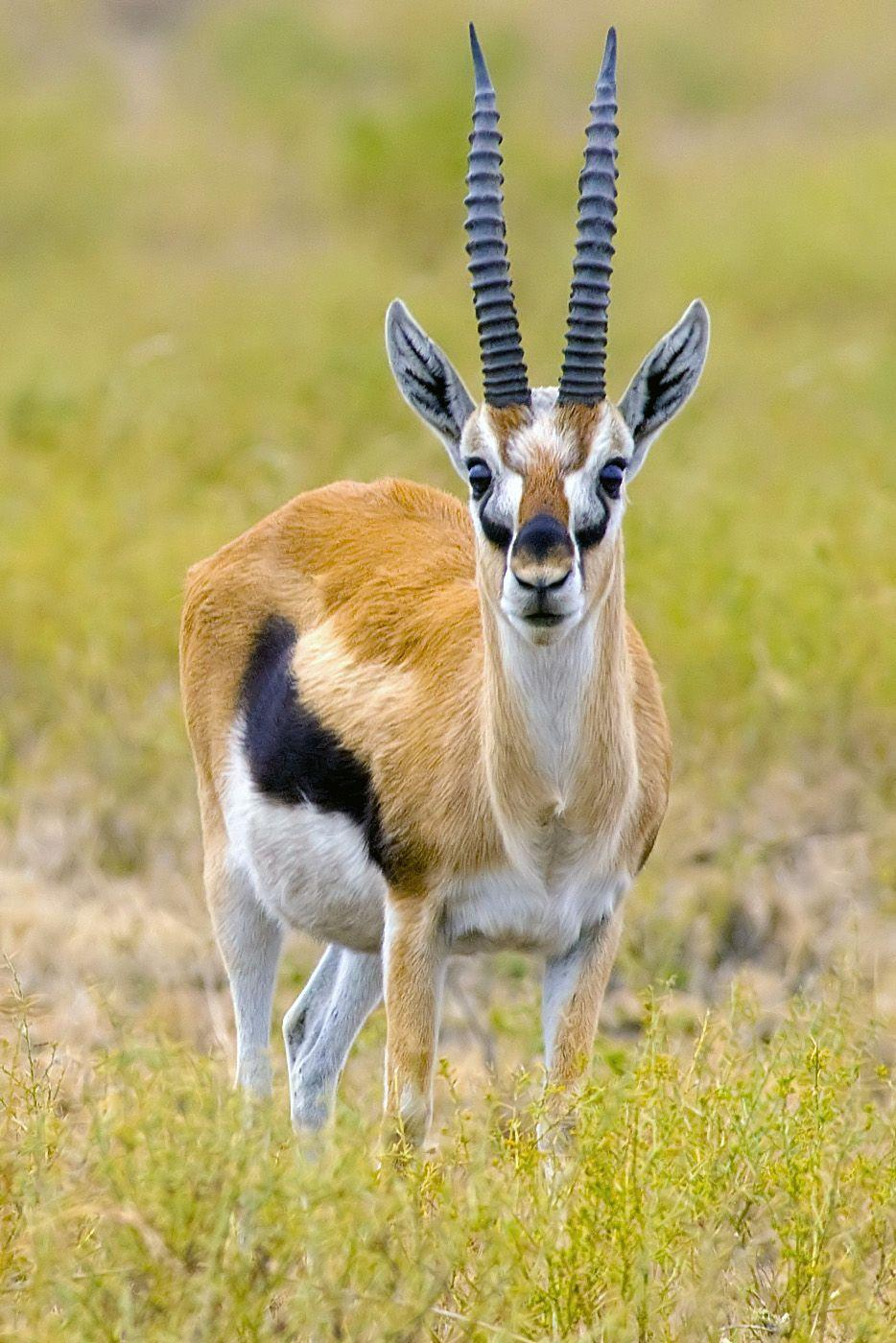 Thomson's gazelle - Wikipedia