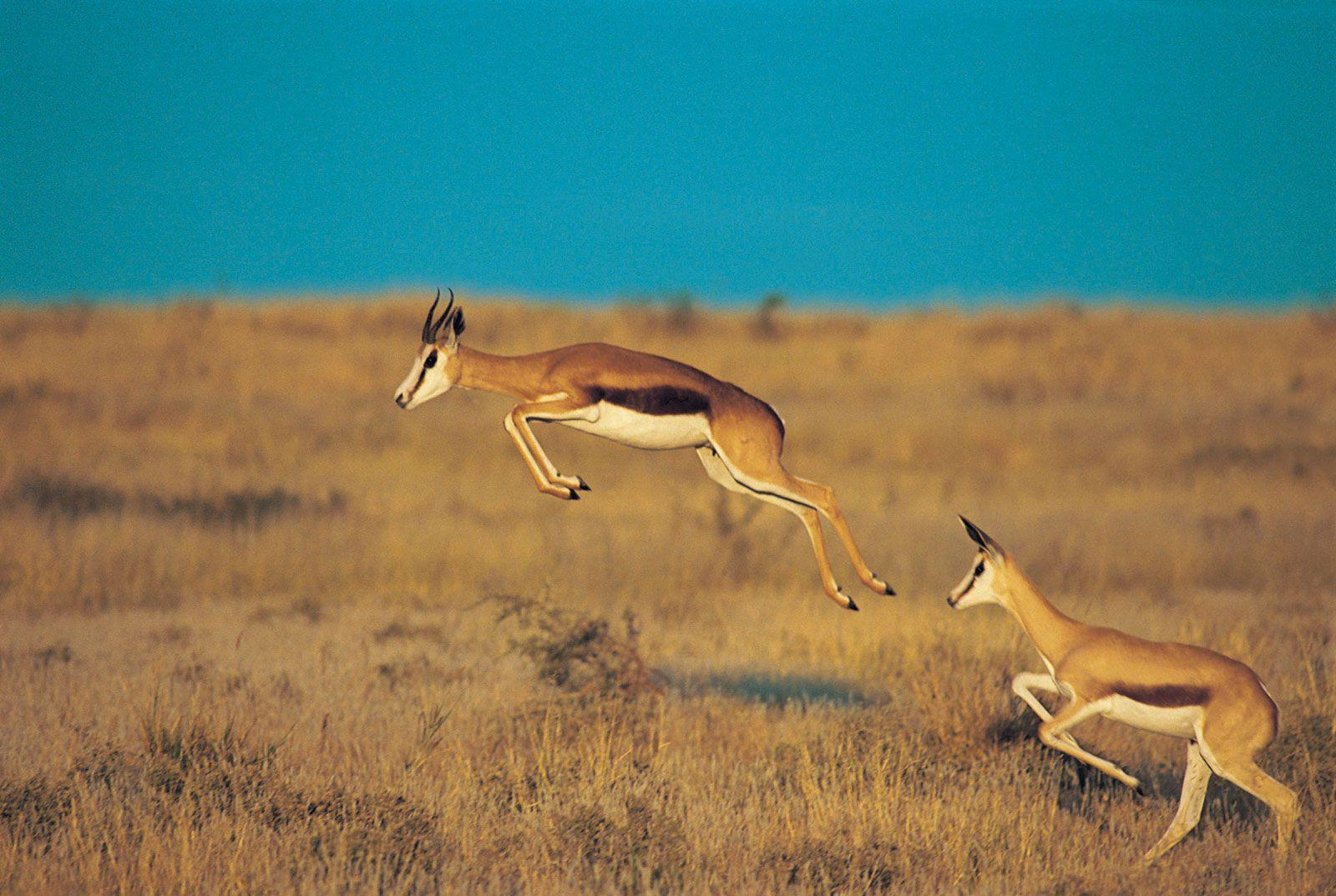 Top 83 Gazelle Wallpaper - HD Animal Spot