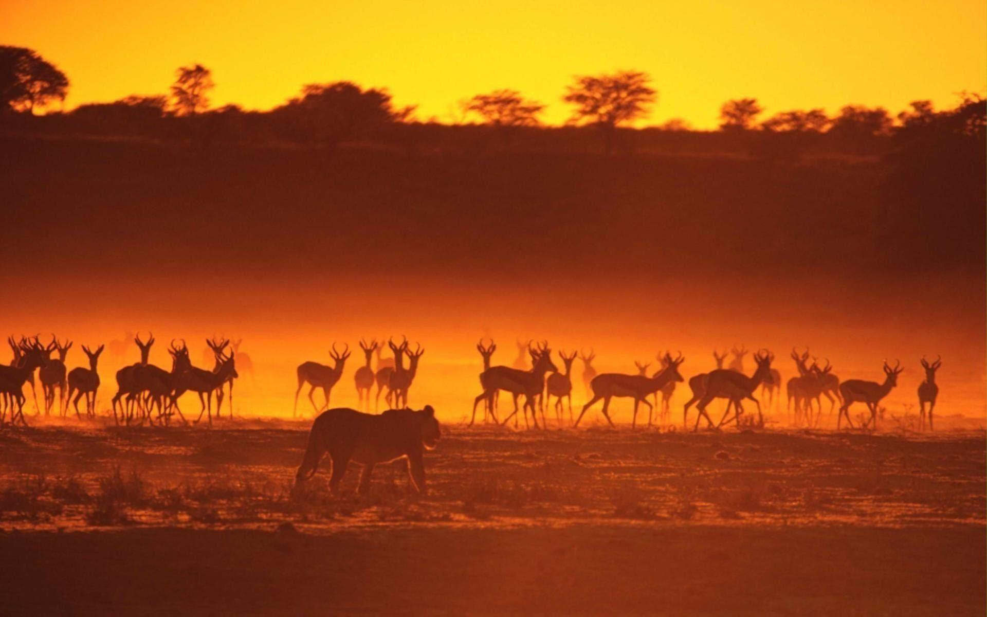 Landscapes animals silhouettes sunlight lions gazelle wallpaper ...