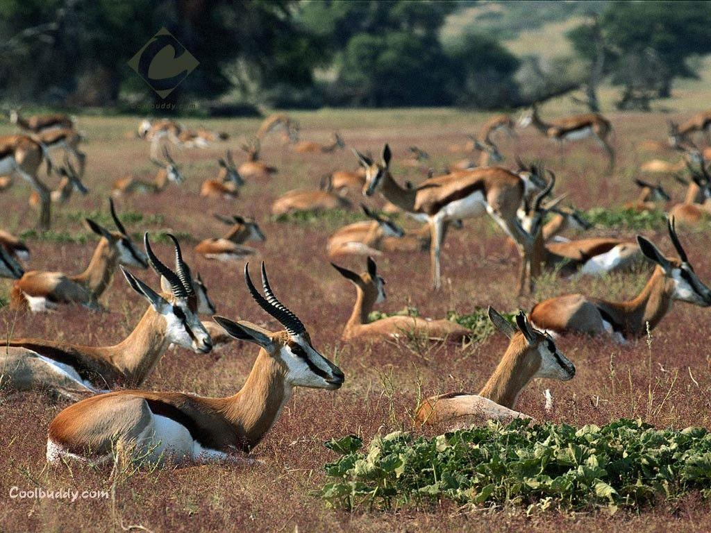 Deer: Gazelles Gazelle Herd Deer Animals Images Wallpapers HD 16:9 ...