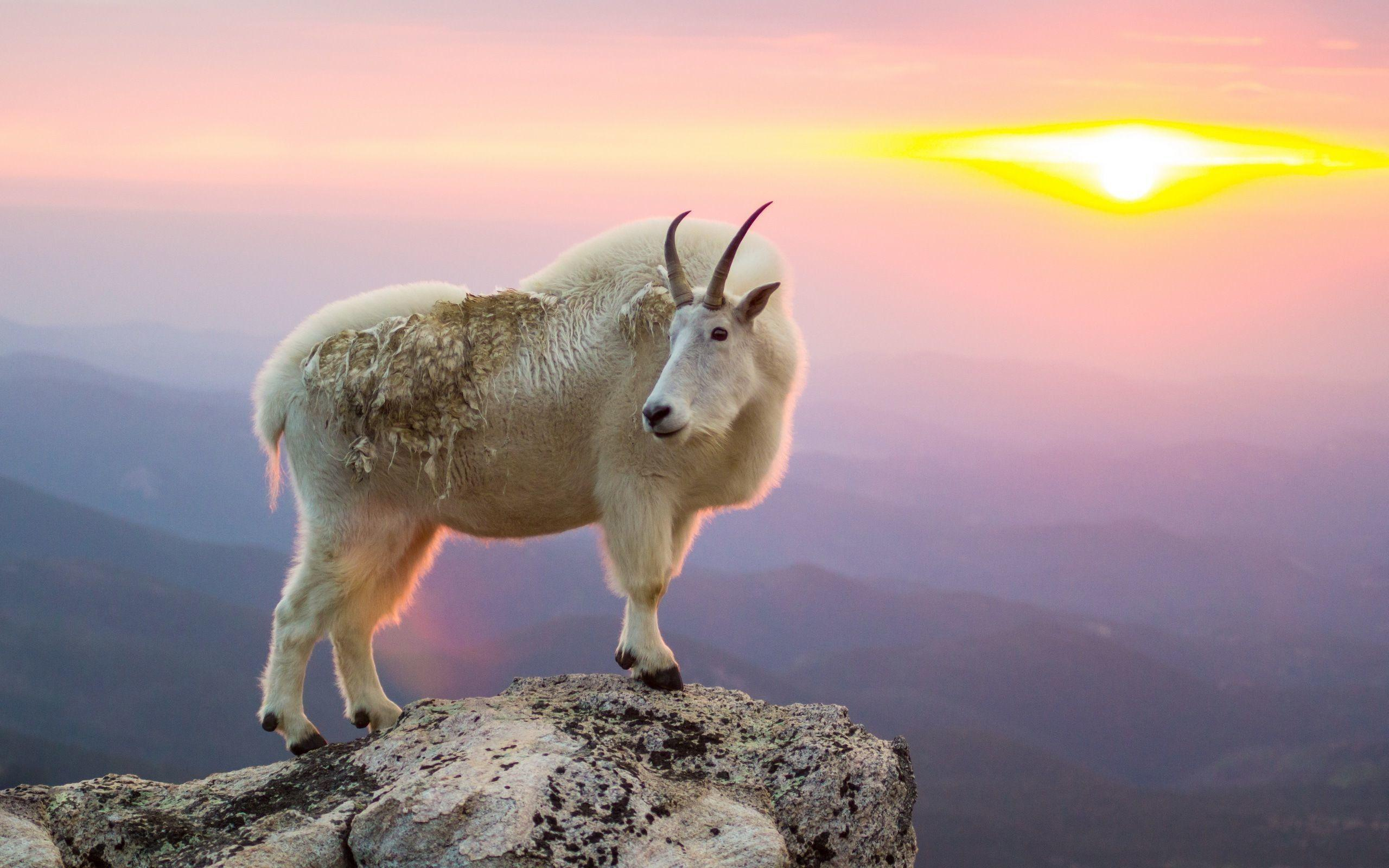 Mountain Goat Wallpapers   Wallpaper Cave