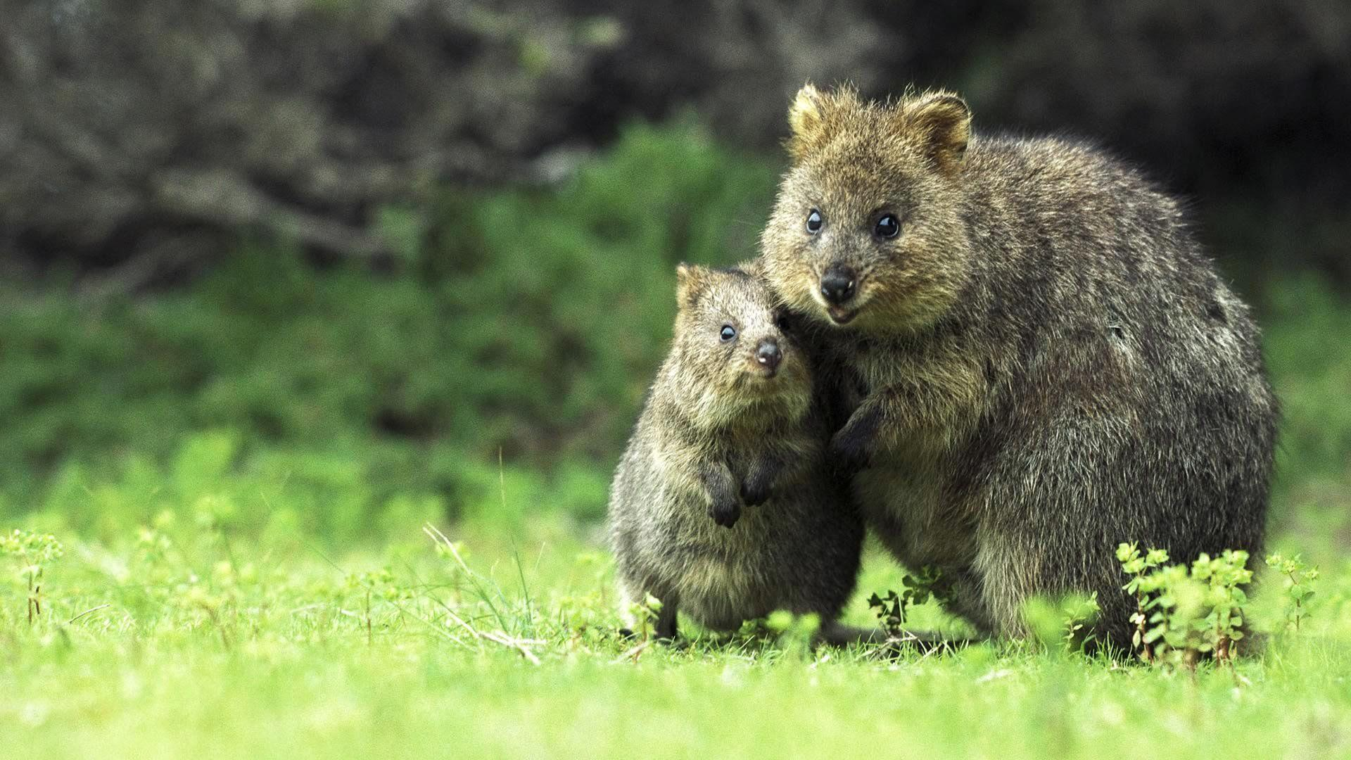 Quokka Wallpapers - Wallpaper Cave