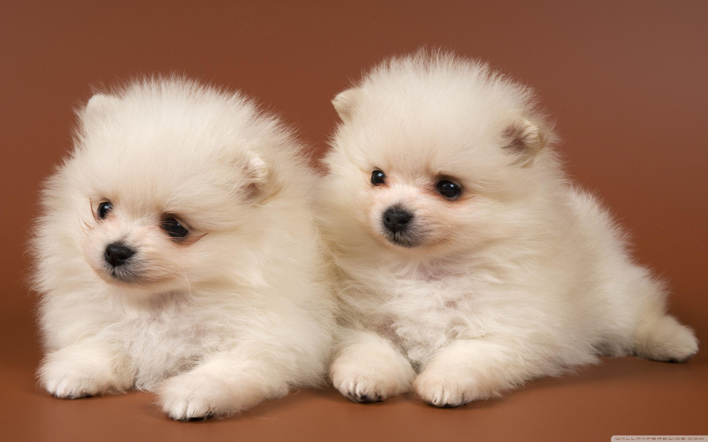 Pomeranian Puppies Wallpapers Wallpaper Cave