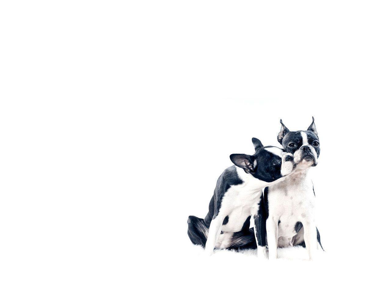Boston Terriers Wallpapers