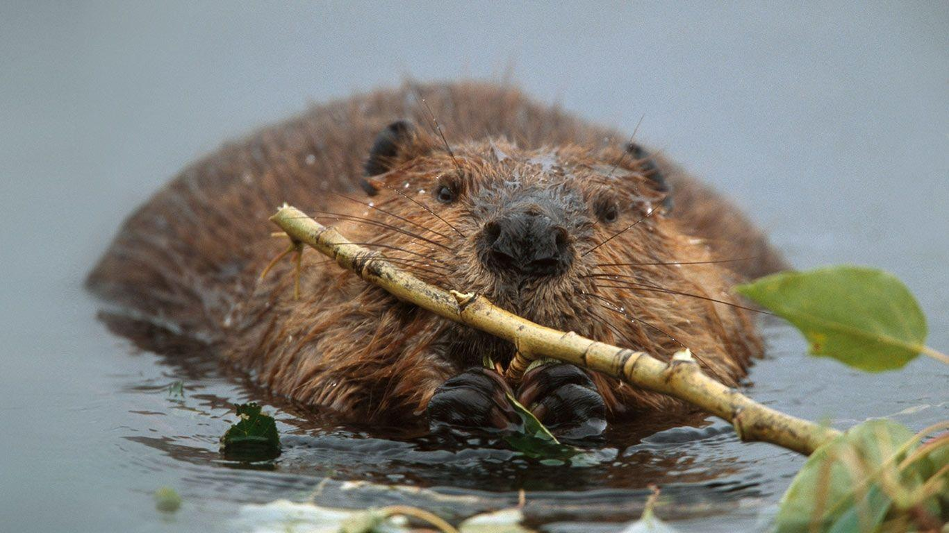 Bing Image Archive: North American beaver in Denali National Park