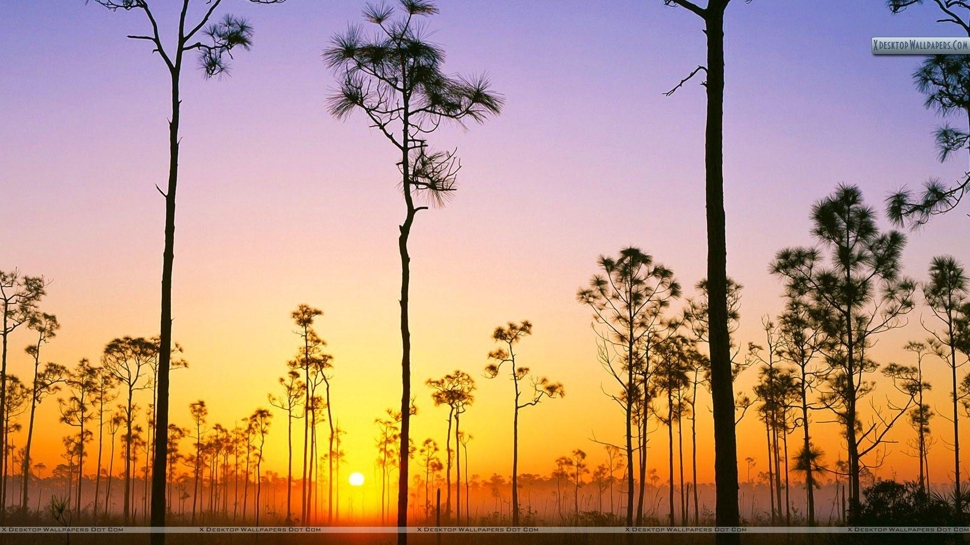 Silhouetted Pines at Sunrise, Everglades National Park, Florida