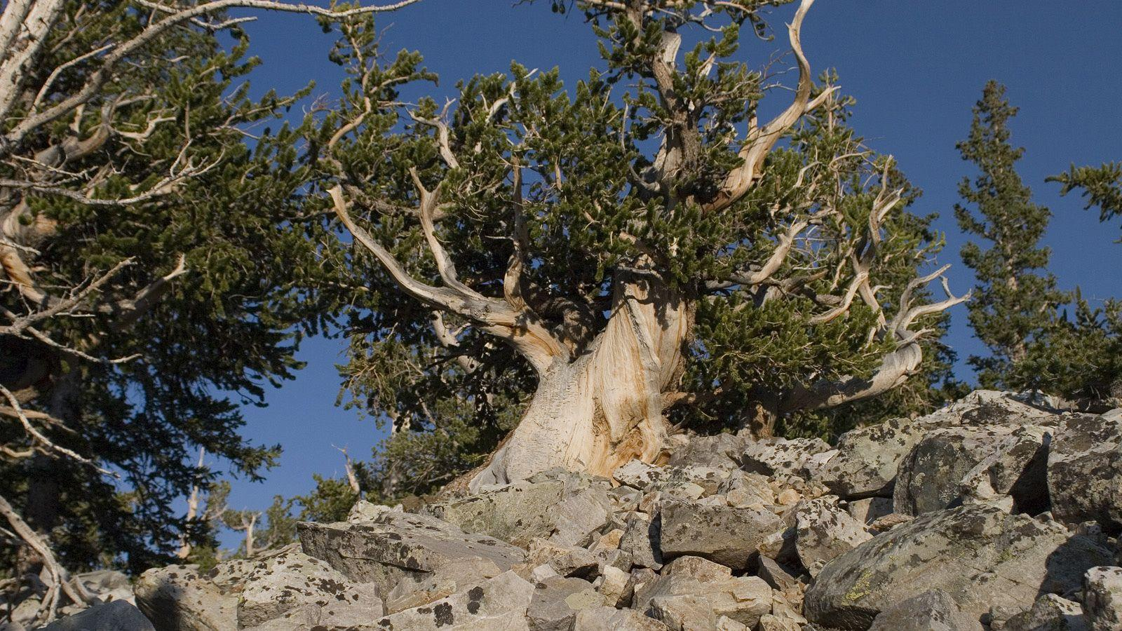 Bristlecone Pines in Great Basin National Park. Photo © Tee Poole