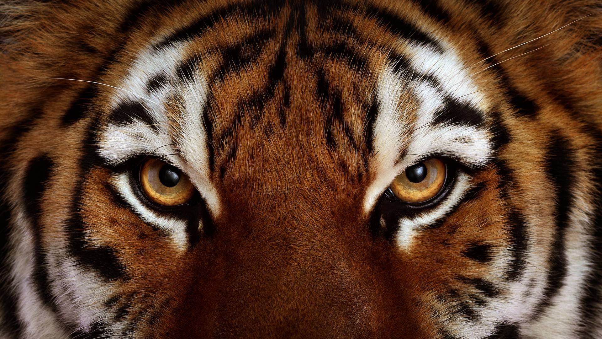 Angry Tiger Wallpapers Wallpaper Cave
