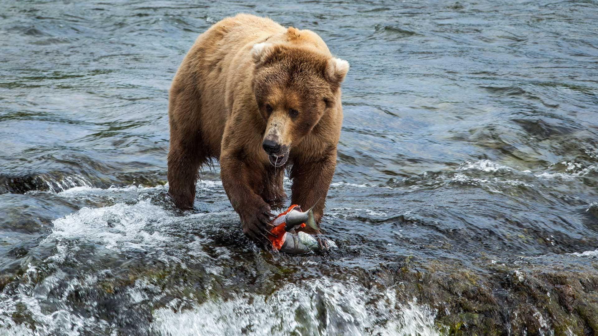 Brown bears feed at Brooks Falls in Katmai National Park and