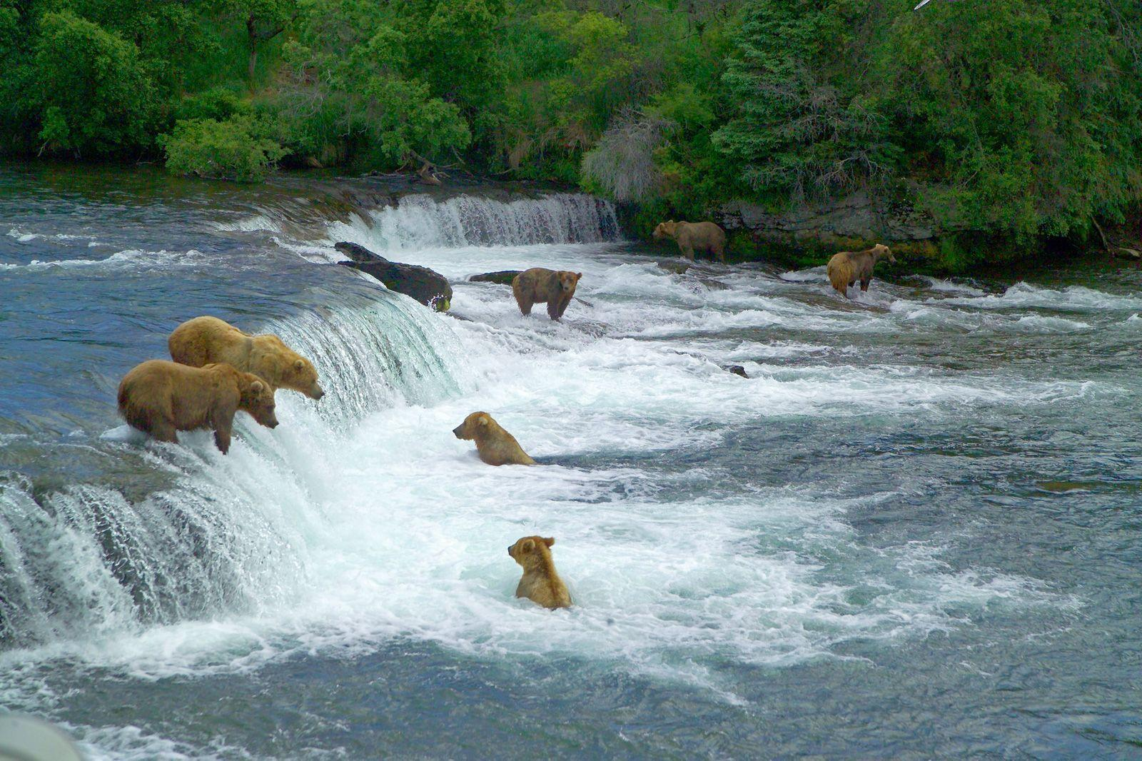 Bears at Brooks River Falls Katmai National Park Picture by Peter