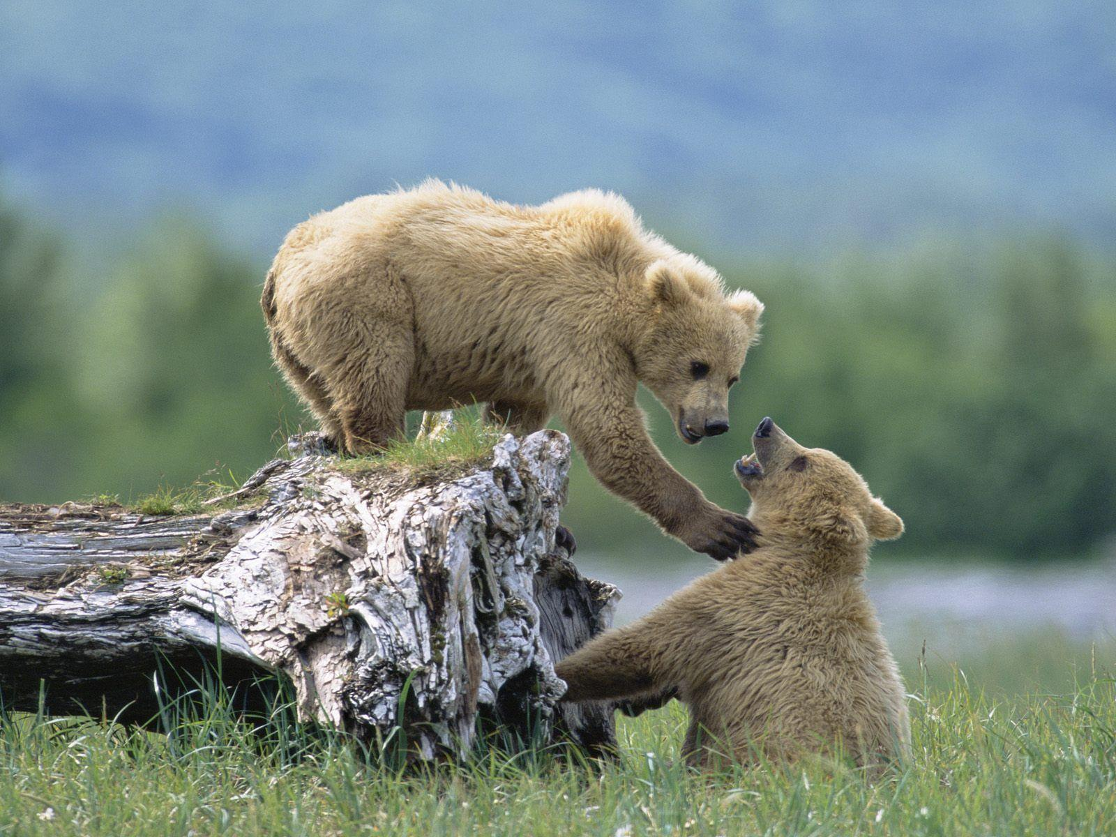 Grizzly Siblings at Play, Katmai National Park and Preserve