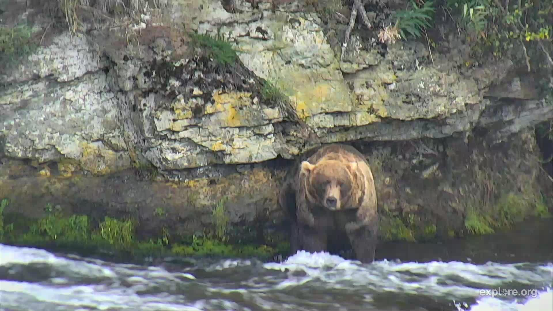 I'm watching on explore, streaming live from Katmai