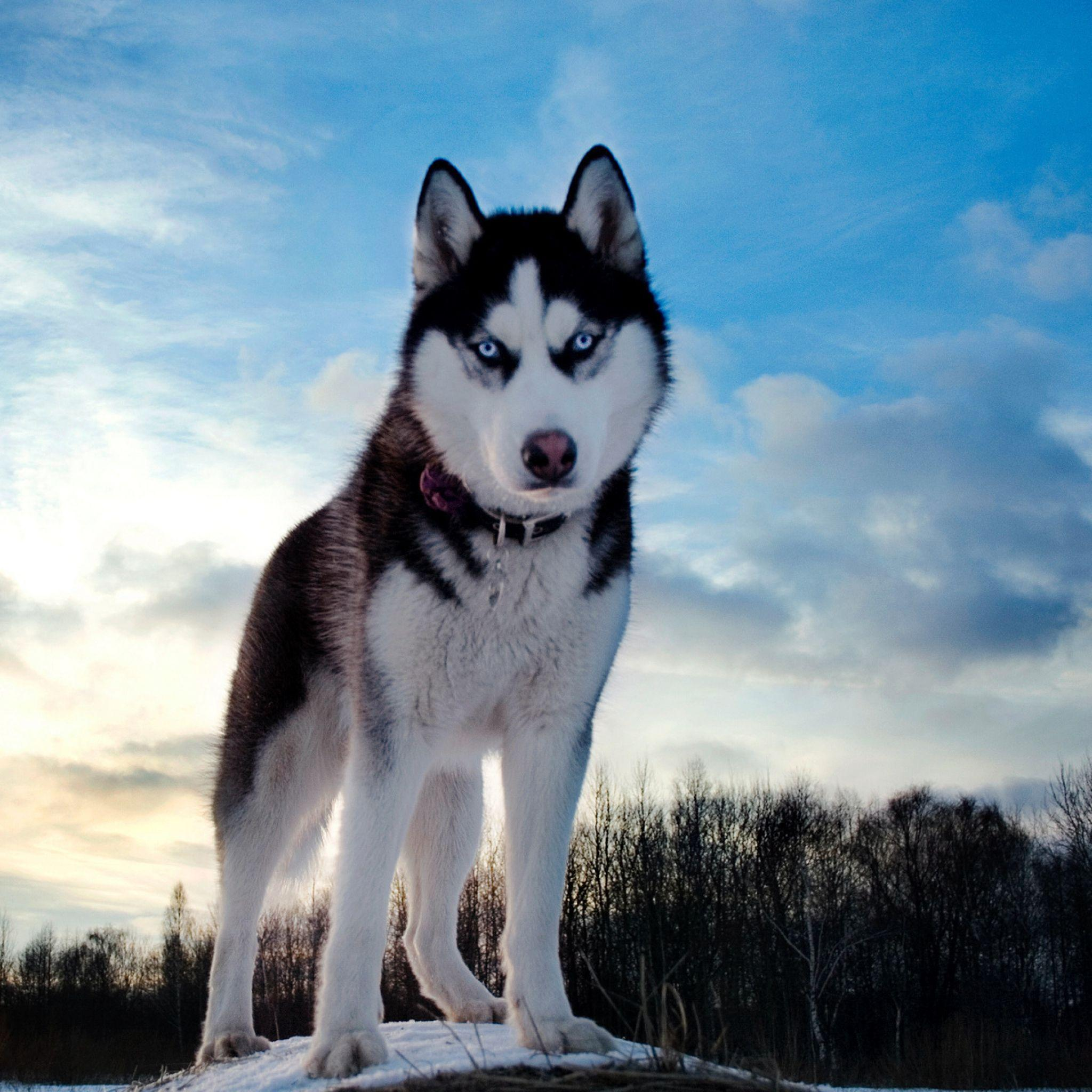 Huskies Dogs In Winter Wallpapers Wallpaper Cave