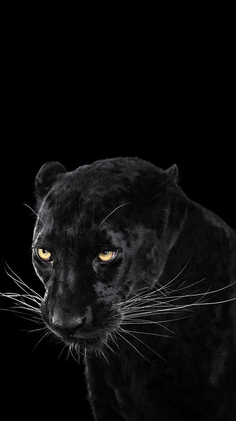Black Panther Animal Wallpapers