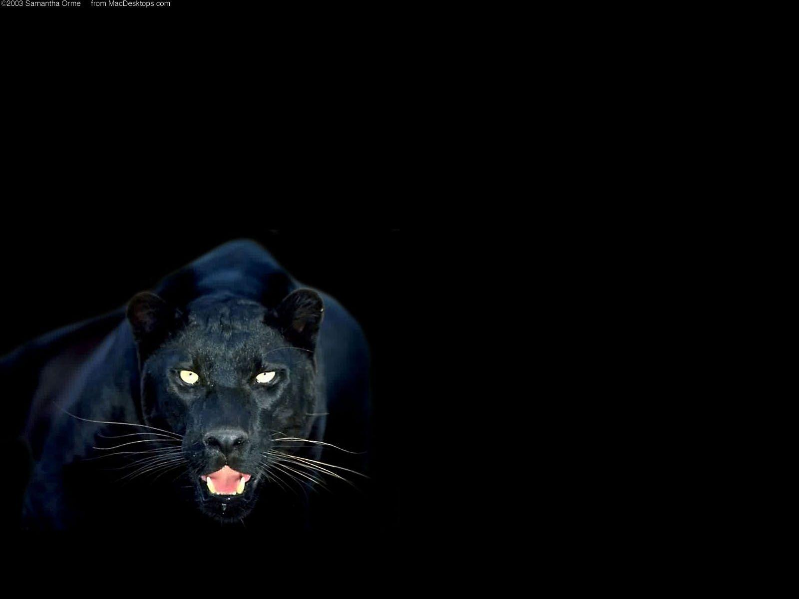 Black Panther Animal Wallpapers Wallpaper Cave