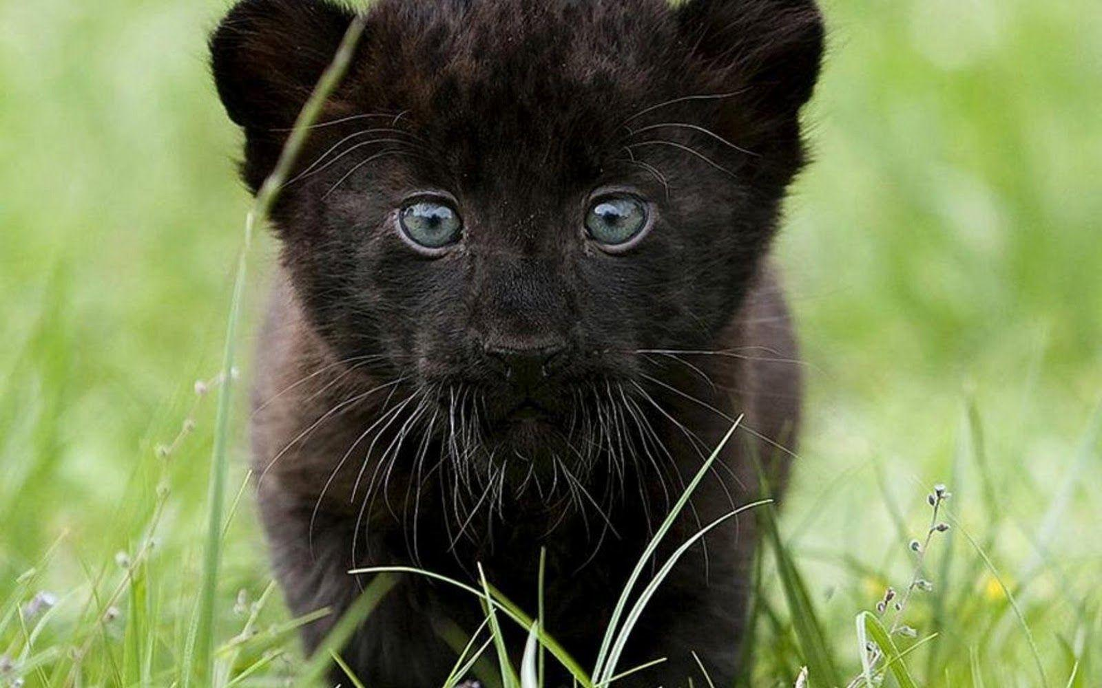 Black Panther Animal Wallpapers - Wallpaper Cave