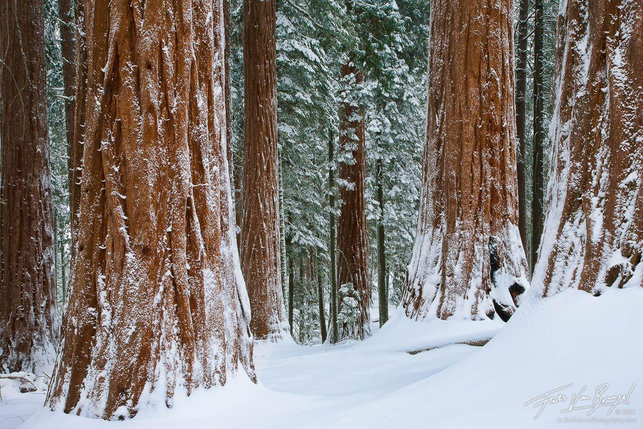 Winter Wonder Woods : King's Canyon NP, CA : Art in Nature Photography